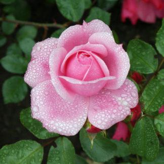 Die Rosenessenz